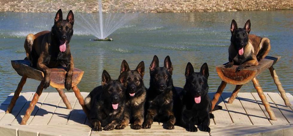 home-protection-dogs-by-protection-dogs-plus